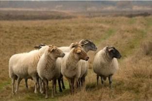 Gezocht: herder gezocht voor 350 schapen ... in wolvengebied