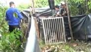 Zeldzame tijger weer losgelaten in het wild op Internationale Tijgerdag