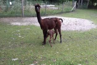 Alpacaveulen dat zondag in Labiomista geboren werd, krijgt toepasselijke naam Nina