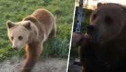 Toen de dieren nog spraken: beer lijkt te communiceren met cameraman
