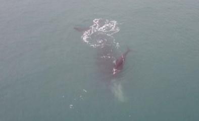 Drone filmt prachtige beelden van een walvis en haar kalf in Zuid-Afrika