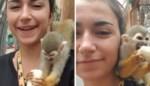Dierenartsassistente wandelt met banaan door apenverblijf, maar moet vieruurtje al snel afstaan