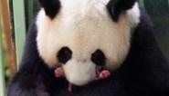 """Pandatweeling geboren in Franse zoo: """"Beiden zijn perfect gezond"""""""