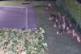 """Twintig everzwijnen paraderen in achtertuin van Genkenaar: """"Gelukkig niets vernield"""""""