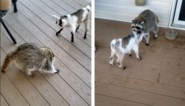 Ongewone vriendschap: wasbeer en geitje spelen erop los