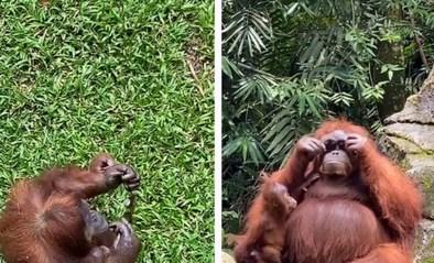 Hilarisch: orang-oetan amuseert zich met zonnebril van bezoeker