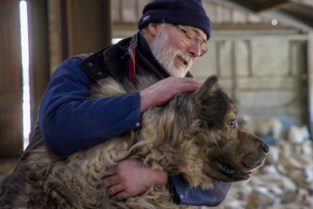 Waakhond vergiftigd, schapen gedood door de wolf: crowdfunding voor getroffen boer