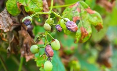 Noodweer tast ook de Belgische wijnranken aan: tot 30 procent van oogst kan verloren gaan