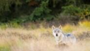 Wolf doodt moeflons in Nationaal Park Hoge Veluwe