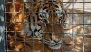 Vietnamese politie neemt 17 illegaal gefokte tijgers in beslag