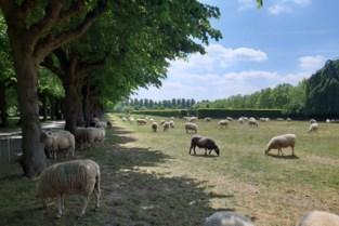 Opnieuw grazende schapen op Schoonselhof