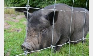 """Gedumpt hangbuikvarken kan na zeven weken in bos gevangen worden, al kostte dat heel wat moeite: """"Met zeven brandweermannen en een ladder is het gelukt"""""""