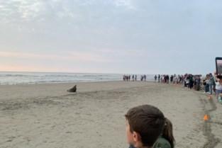 Belgische kust heeft nieuwe mascotte: Oscar, de zeehond die telkens weer opduikt op onze stranden