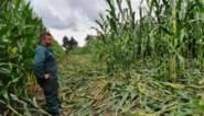 Everzwijnen vernielen maïs: landbouwers reageren met schrikdraad, jagers vragen aanpassing wapenwet