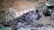 Voor het eerst beelden van kleine welpjes in wolvengrot