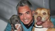 """'s Werelds bekendste hondenfluisteraar Cesar Millan onder vuur: """"Zijn pitbull viel mij aan en doodde het hondje van Queen Latifah"""""""