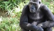 Gorilla's in Amerikaanse dierentuin testen positief op coronavirus
