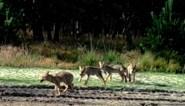 Al 40 dodelijke incidenten en de aanvallen zullen alleen maar toenemen: burgemeester wil drastische maatregelen tegen wolven