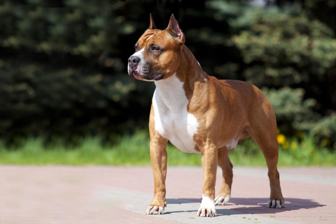 Dierenarts roept op om hondenras te verbieden nadat twee vrouwen zwaar werden aangevallen in Australië