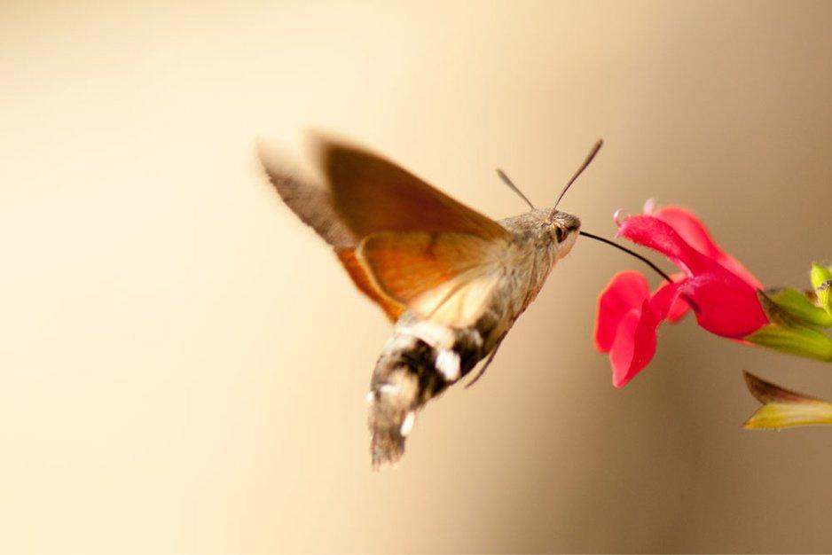 Tongerse legt spectaculaire kolibrievlinder vast op camera
