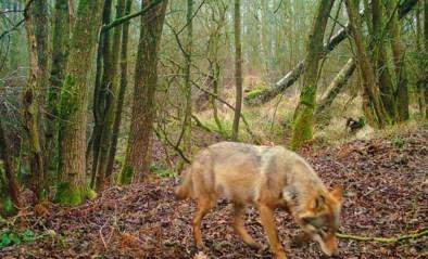 """Het verzet tegen de wolven in ons land neemt toe: """"Het is duidelijk dat gedrag de verkeerde kant uitgaat"""""""