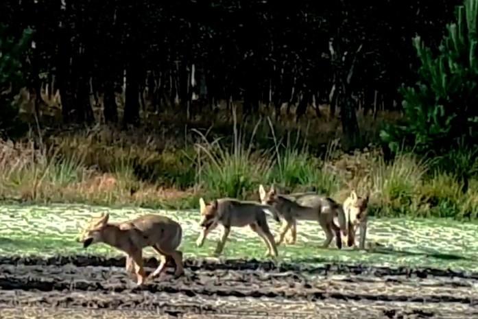 """Zenuwen staan gespannen na zoveelste aanval door wolf: """"Probleemwolf? We zitten hier met een probleemburgemeester, ja"""""""