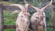 Twee geitenbokken met gigantische hoorns in beslag genomen in Maasmechelen
