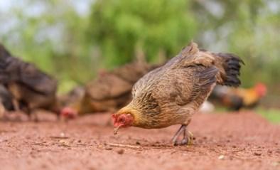 Ze verkleinen je afvalberg en houden het onkruid weg: alles wat je moet weten over kippen in de tuin