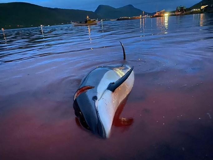 """Meer dan 1.400 grienden afgeslacht tijdens traditionele dolfijnenjacht op Faeröereilanden: """"Deel van onze cultuur"""""""