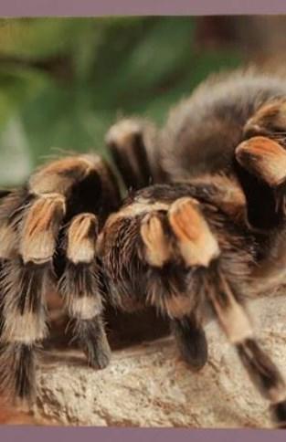 Waarom krijgen kinderen tegenwoordig tarantula's te zien in 'Tik tak'?