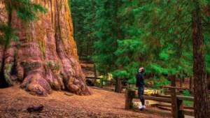 80 meter hoog en tot 2.700 jaar oud: hoe brandweer unieke bomen tegen bosbranden hoopt te beschermen