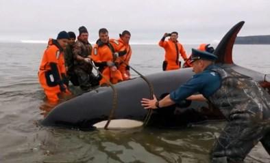 Vrijwilligers redden gestrande jonge orka in Rusland