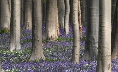 """Hallerbos officieel erkend als natuurreservaat: """"Bloemenpracht zette het bos internationaal op de kaart"""""""