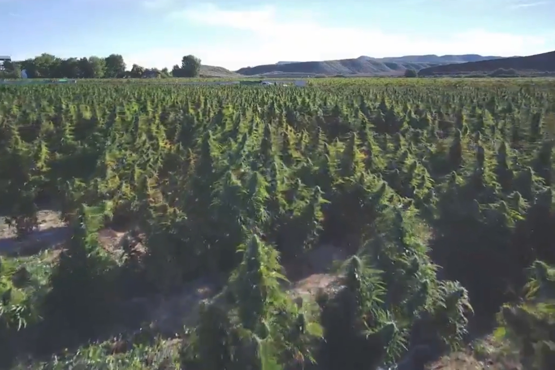 Spaanse politie ontdekt grootste wietplantage in Europa